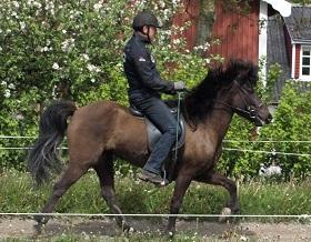 heste sort islænder